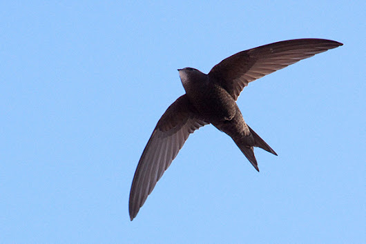 Living on Earth: Science Note: Enduring Swifts