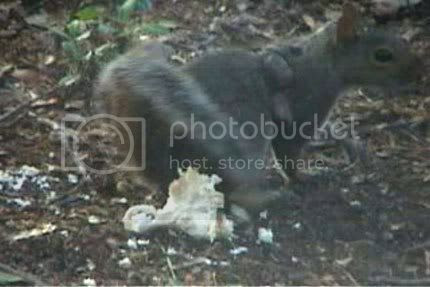 infected squirrel