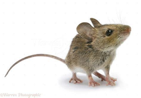 Wood mouse photo WP26019