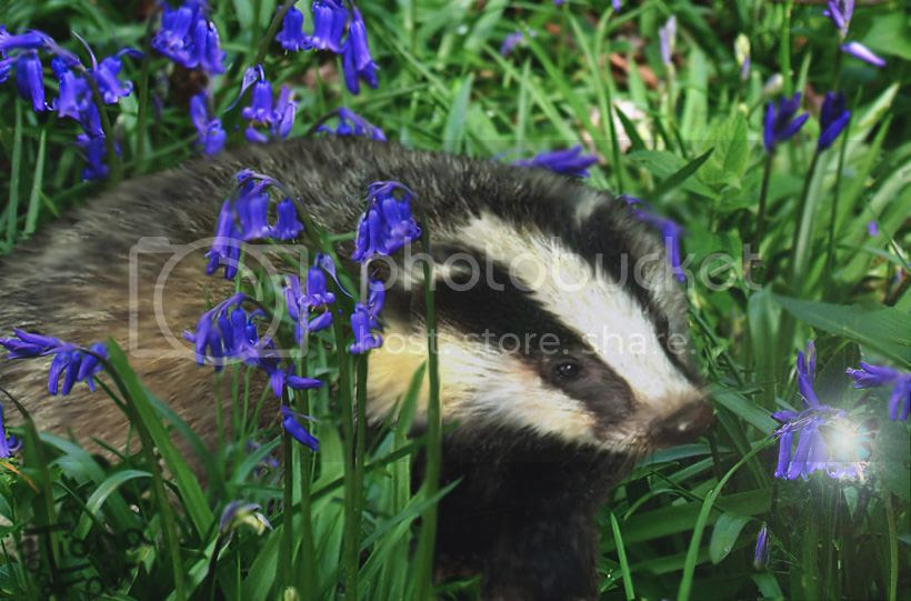photo badger-and-the-bluebells2_zps6b2xkwdx.jpg