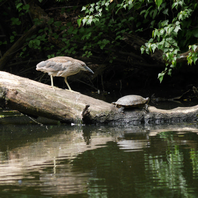Ed Gaillard: birds &emdash; Young Black-Crowned Night Heron and turtle, The Pond, Central Park