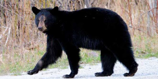 Bear sighted in Town of Gore Bay