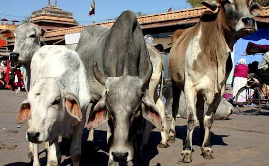 Aadhaar-Like System For Cows To Prevent Smuggling, Centre's Panel Tells Top Court