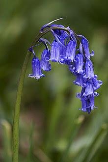 Hyacinthoides non-scripta (Common Bluebell).jpg