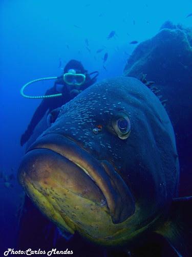 Peixe Mero na  ilha das Flores