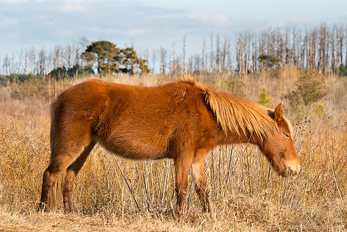 Assateague Horse, Chincoteague Pony, Feeding, Assateague Island, Virginia