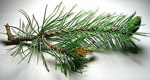 Pine cones, male and female