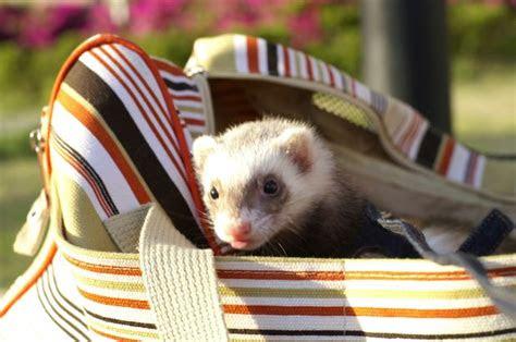 ferrets eat cat food pet orb