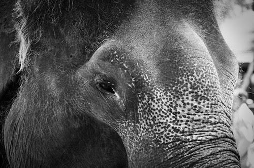 ElephantClose3BW