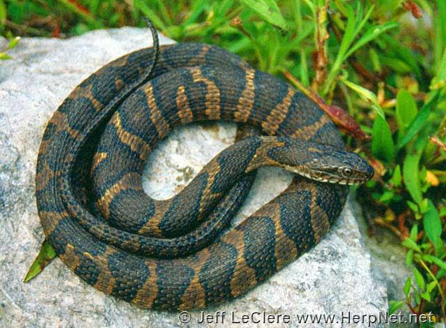 Common Watersnake Nerodia Sipedon Amphibians And Reptiles Of Iowa