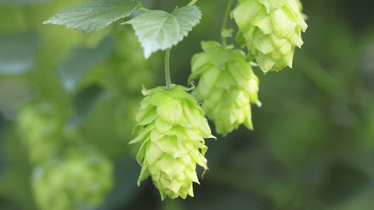 What Are Beer Hops?