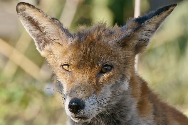 Trusting Fox
