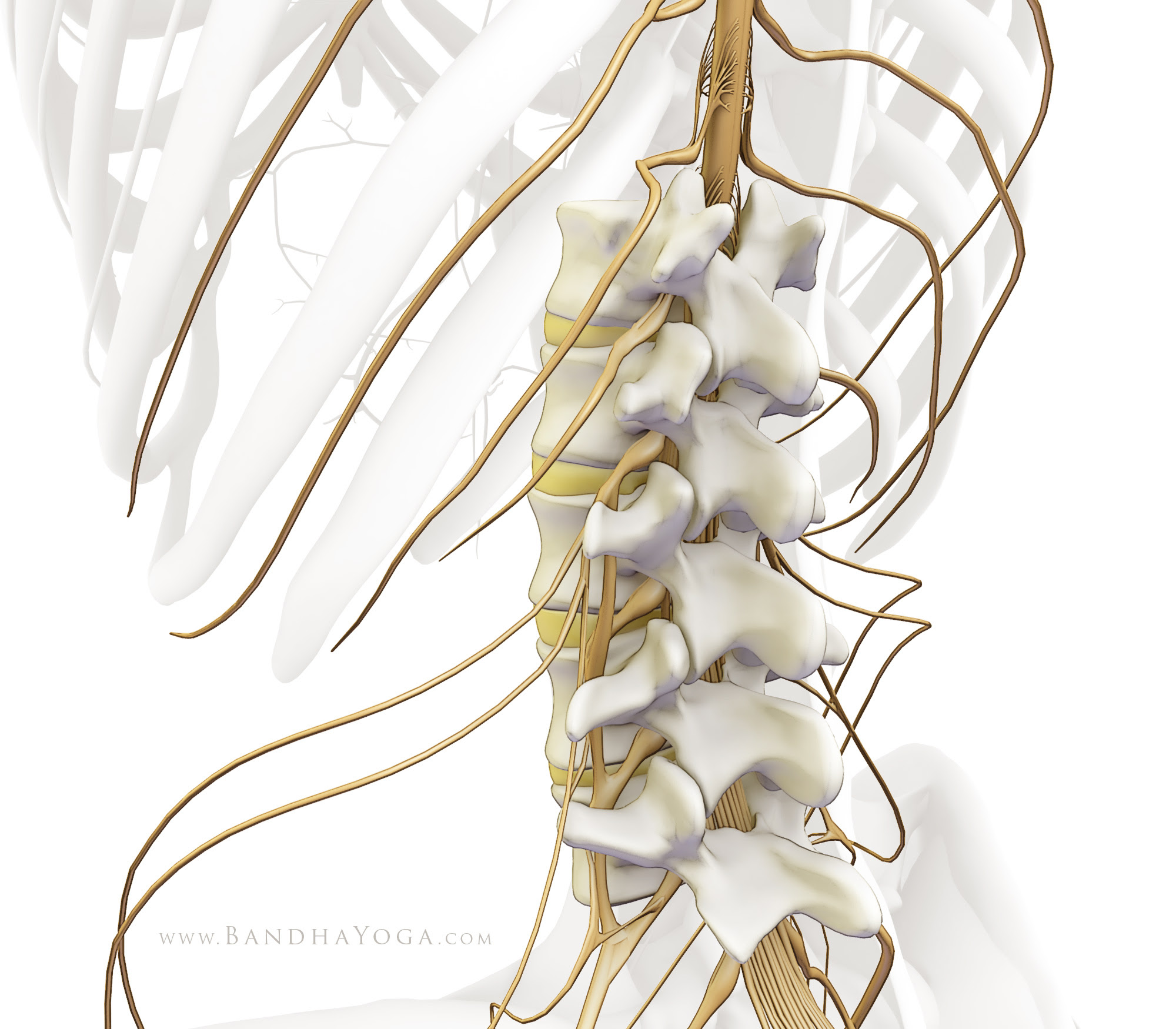 spinal cord and vertebral bodies