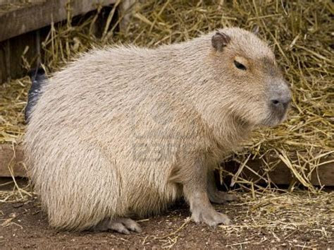 Free Cool Wallpapers: capybara wallpapers