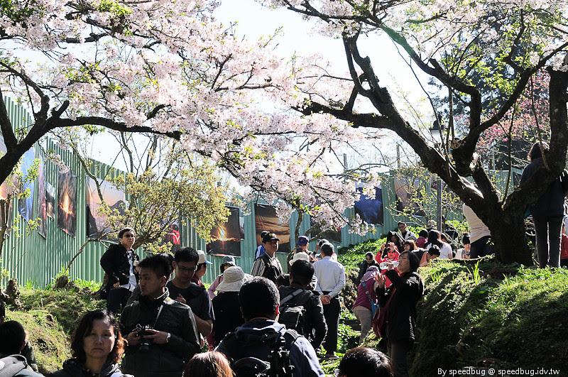 阿里山櫻花季97
