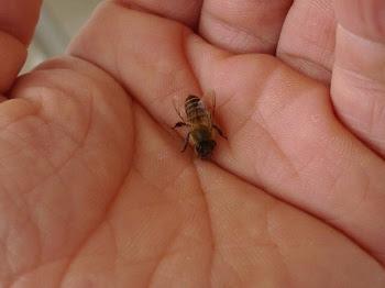 手のひらに乗るニホンミツバチ