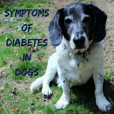 Symptoms of Diabetes in Dogs - Caring For a Senior Dog