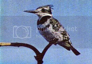 Pg11-3, PIED KINGFISHER