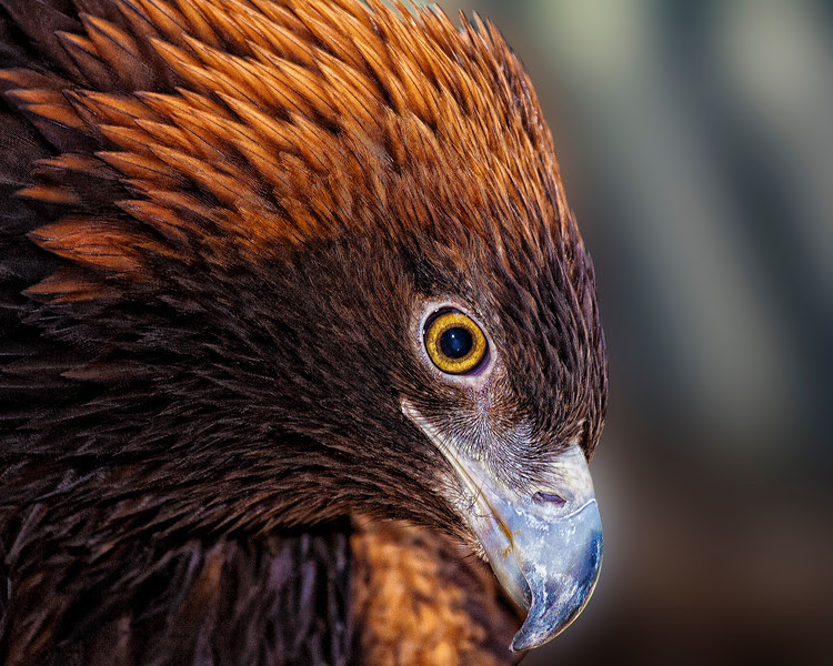 Golden Eagle Stare Down