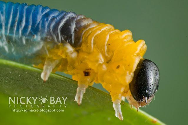 Sawfly larva (Symphyta) - DSC_9728
