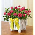 Flower Delivery by 1-800 Flowers Charming Rose Garden Small Plant