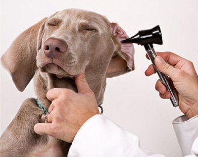 Acaros en el oído del perro y su tratamiento