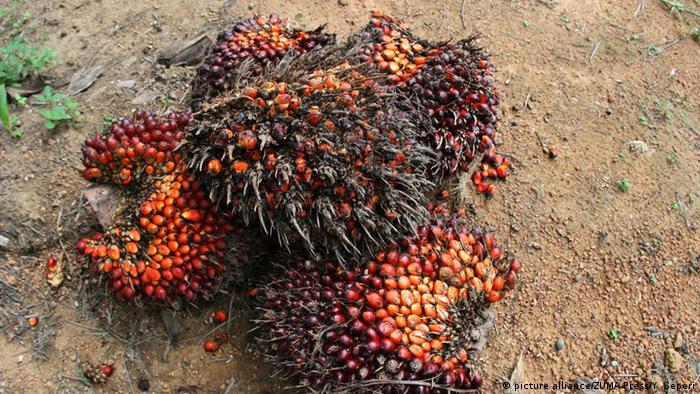 Indonesiien Palmöl Früchte