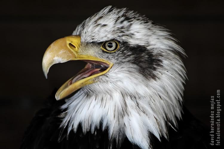 Detalle de cabeza de águila calva originaria de Estados Únidos y símbolo del país. Fotografía realizada en O Grove, Pontevedra, Galicia