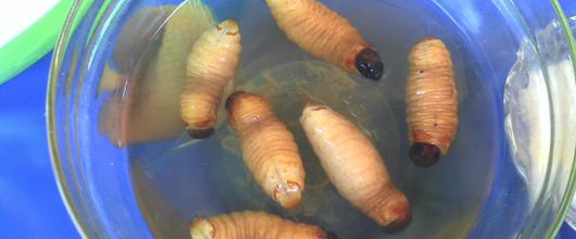 A Scientist Has a Solution to Antibiotic Resistance—Genetically Modified Maggots | Motherboard