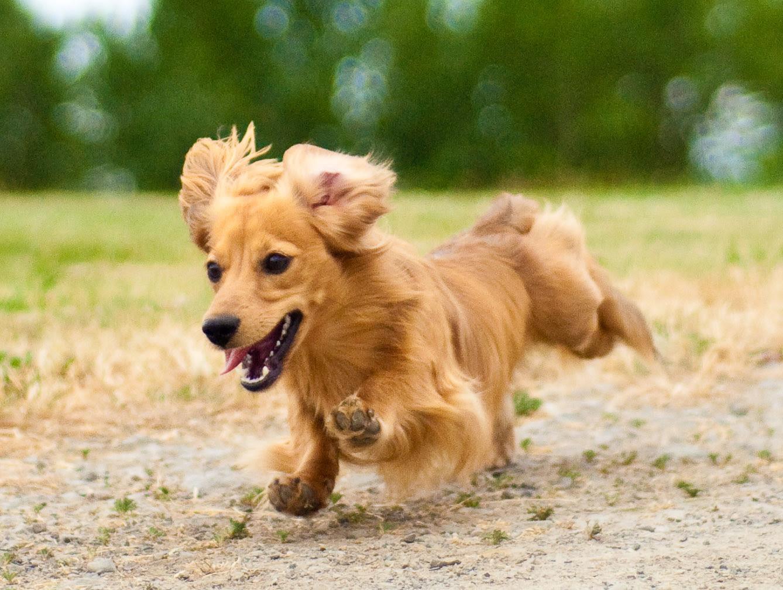 フリー画像動物写真哺乳類イヌ科犬イヌミニチュアダックスフンド