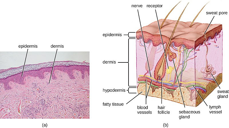 Difference Between Dermis and Epidermis 1