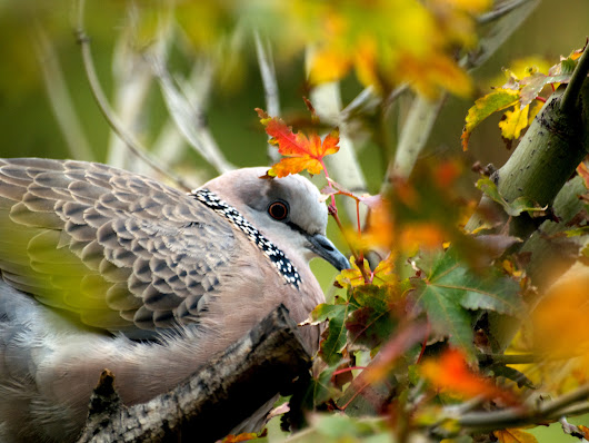 A Spotted Turtle-Dove