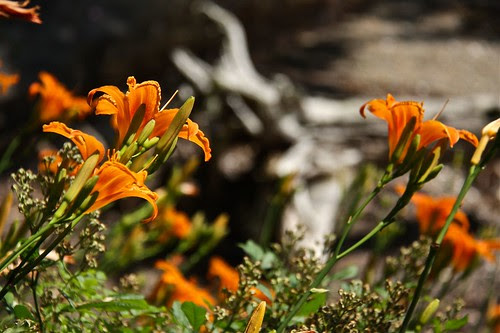 Day Lilies and Driftwood