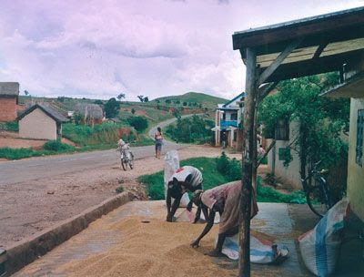 Madagascar - Donne che lavorano il riso lungo la strada per Miandrivazo