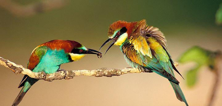 File:Merops apiaster (1).jpg