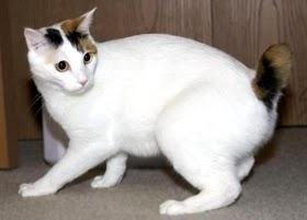 Kucing Lucu Jepang