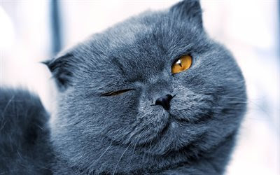 Download wallpapers British gray cat, winks, cute animals, short-haired gray cat, pets, cats besthqwallpapers.com