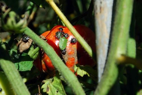last tomatoes