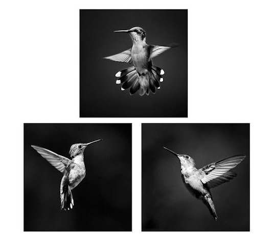 Hummingbird Prints Black and White Photo Set Set of 3