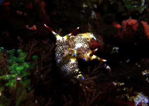 mating nembrotha lineolata