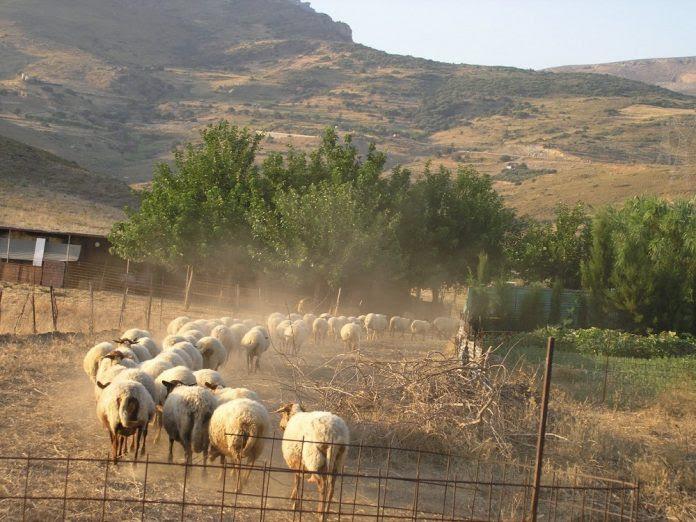 Π.Ε. Λακωνίας: Ενημέρωση για τις απογραφές αιγοπροβάτων και χοίρων