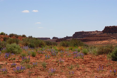 Wild Lupine Valley of the Gods UT