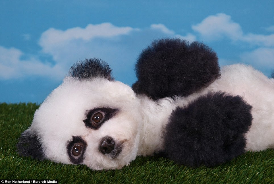 Chilled: The poodle panda looks relaxed and happy as it lies on the floor