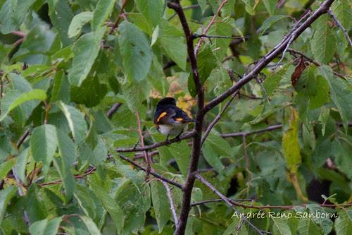 American Redstart (Setophaga ruticilla)-1.jpg