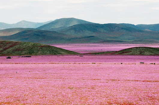 The 'driest place on Earth' is covered in pink flowers after a crazy year of rain