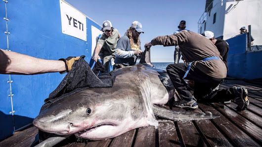 Nova Scotia waters may be great white shark mating hotspot