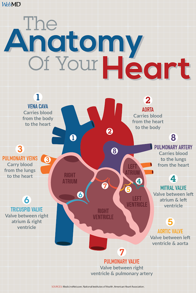 Infographic : The Anatomy of your heart
