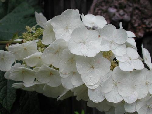 Hydrangea quercifolia, Oak-Leaf Hydrangea