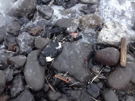 Oiseaux morts en Alaska