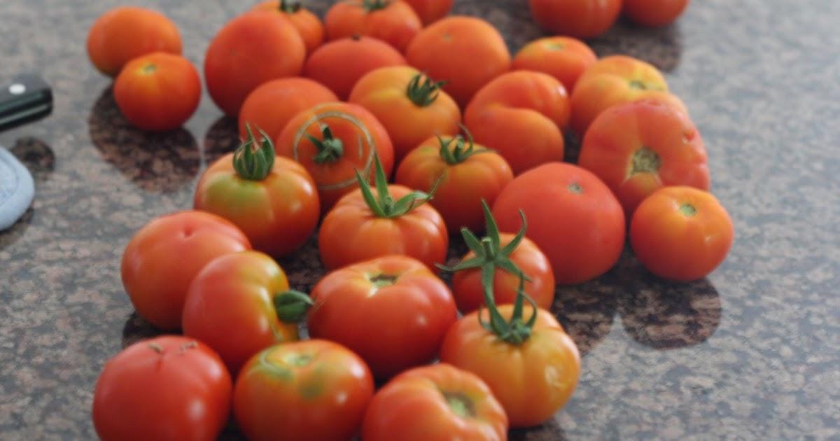 simple garden updates garden update its raining tomatoes simple tomato rice daily